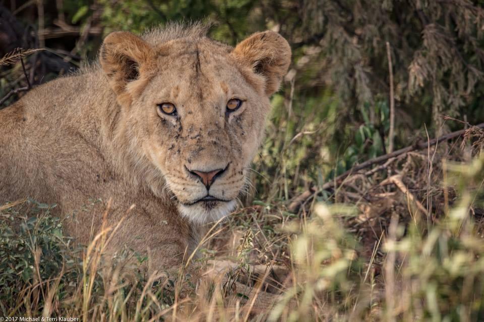GCCC Africa Lion